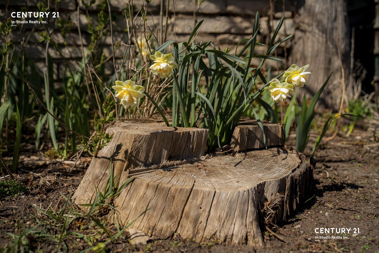 Daffodils Wiarton