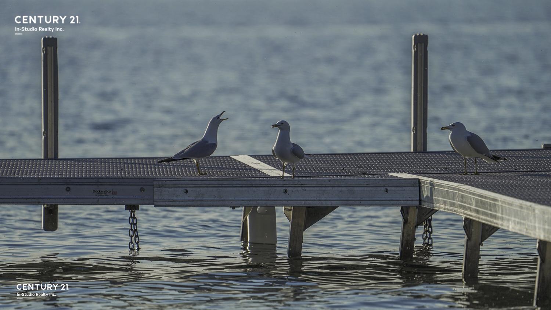 Grey Bruce Wild Life - Seaguls