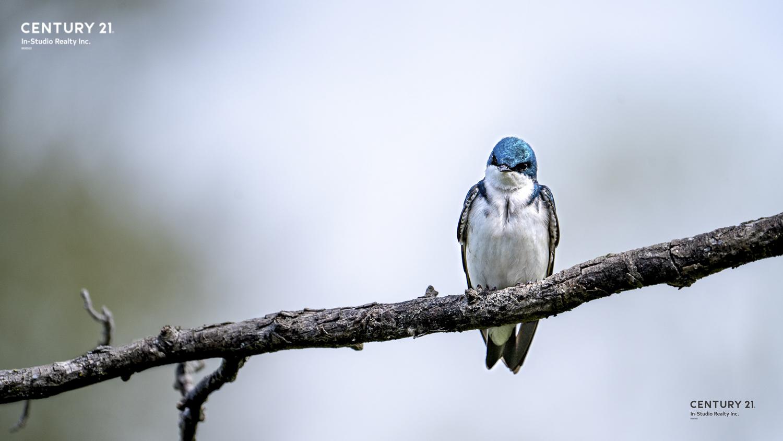 Grey Bruce Wildlife - Swallow