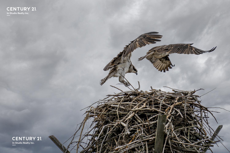 Oliphant Wildlife Photography - Osprey