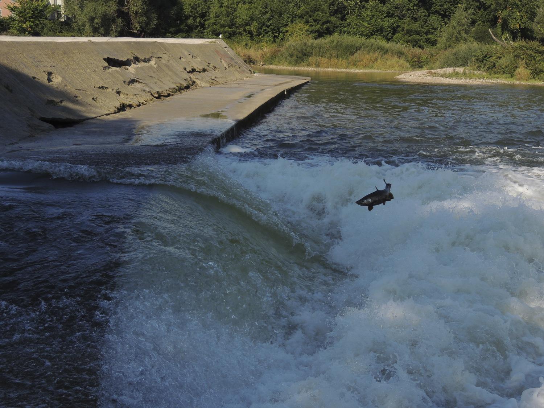 Salmon Jumping Walkerton Dam, Walkerton Real Estate, Brockton Real Estate