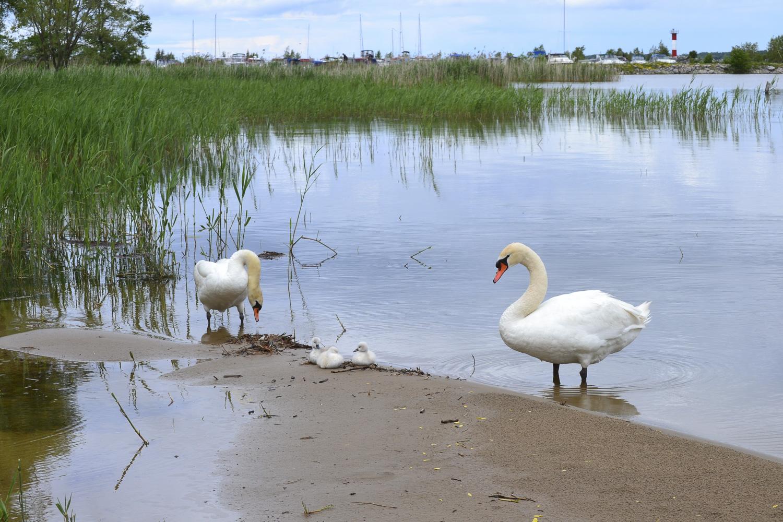 Owen Sound Real Estate, Swans at Kelso Beach 2 Owen Sound - Mary Blair
