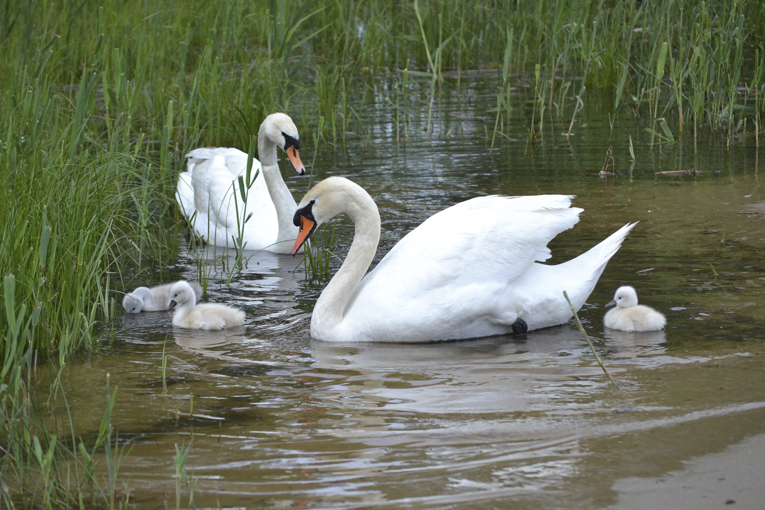 Swans and Cygnets at Kelso Beach Park, Owen Sound Real Estate (photo: Mary Blair)